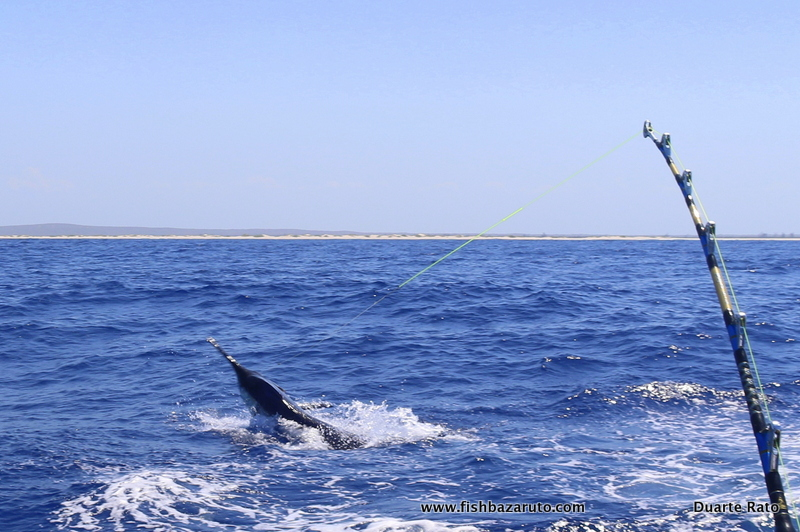 Strenues biggest black marlin to date caught fishing with Captain Duarte Rato out off Bazaruto Island in Mozambique