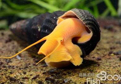 適合所有人飼養的淡水螺──兔螺