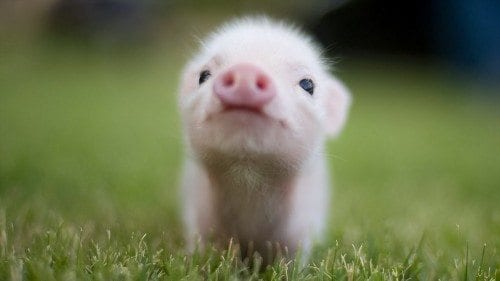Image result for piglets