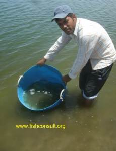 Culture of Indian white shrimp in Egypt (stocking in the grow out ponds) 02