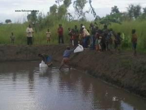 Stocking of a comunal fish pond (Malawi) 01