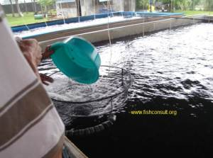 Tilapia grading in the Philippines (02)