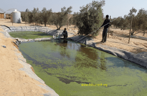 Azolla in tilapia feed in aquaponics in Egypt (01)