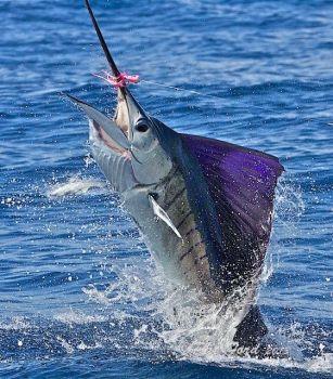Costa Rica Billfish
