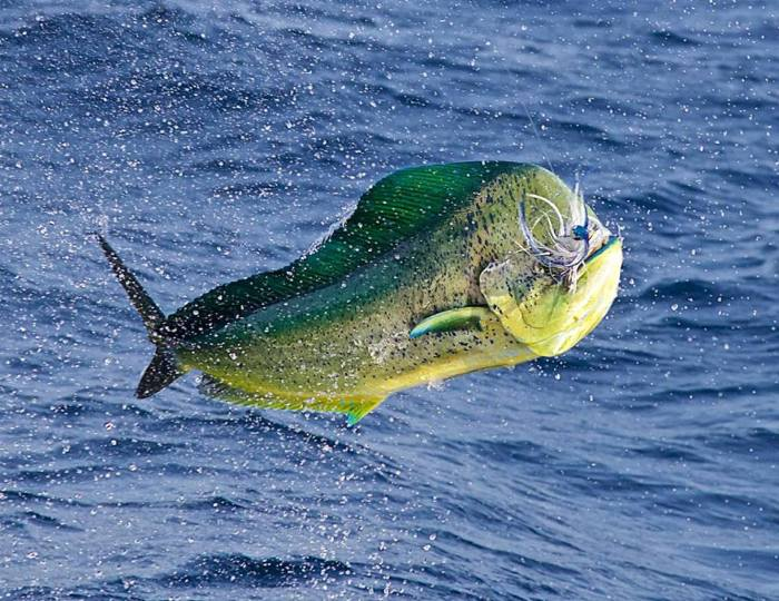 Bull Dorado on the Fly