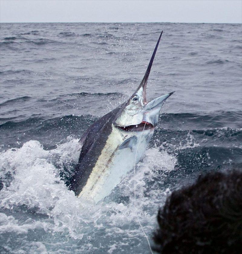 marlin fishing Archives – FECOP - Costa Rica Sport Fishing