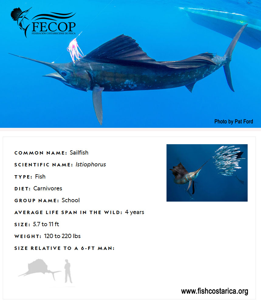 Sailfish Facts Costa Rica