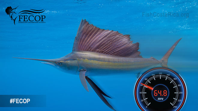 Sailfish are the fastest fish in the sea