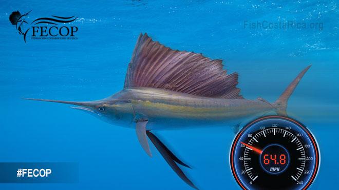 Sailfish are the fastest fish in the sea