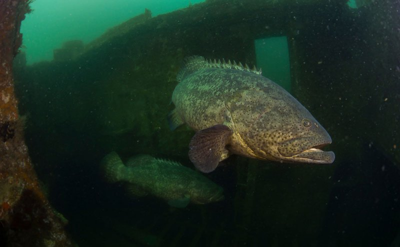 Goliath Grouper Artificial Reef