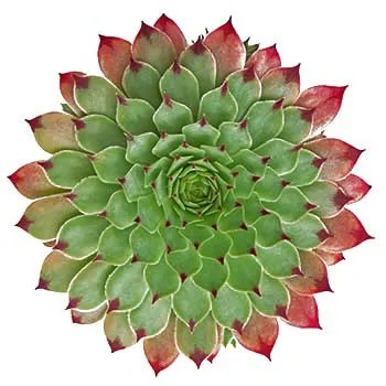Succulent plant with green leaves with red tips