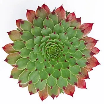 Green succulent with red tips