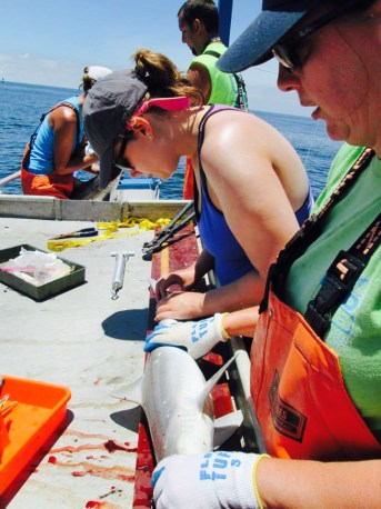 Measuring an Atlantic Sharpnose Shark Rhizoprionodon terraenovae captured by longlining. Photo Credit: GCRL.