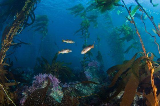 Olive rockfish juveniles swimming through giant kelp and rocky reef essential fish habitat. Credit: Adam Obaza, NOAA Affiliate