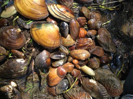 An example of the richness of native freshwater mussels from the Midwest. Photo credit: Christopher Owen