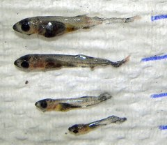 Featured Paper: Novel Feed from Invasive Species is Beneficial to Walleye Aquaculture image