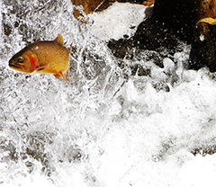 Using an Integrated Population Model to Evaluate Yellowstone Cutthroat Trout Responses to Management Actions image