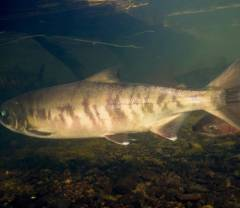 Hatchery‐Origin Stray Rates and Total Run Characteristics for Pink Salmon and Chum Salmon Returning to Prince William Sound, Alaska, in 2013–2015 image