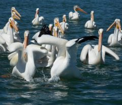 Evaluating Target Levels of American White Pelican Abundance to Achieve Management Objectives for Adfluvial Yellowstone Cutthroat Trout image
