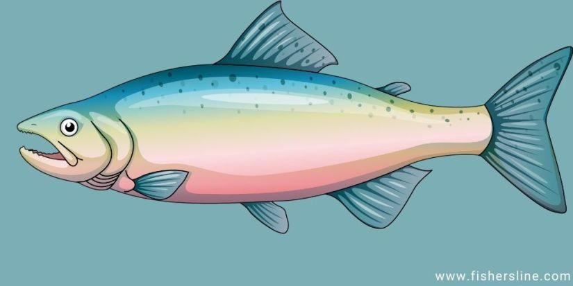 trout-fish-illustration