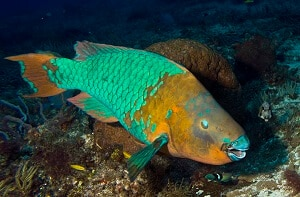 Rainbow Parrot Fish picture