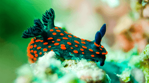 Nudibranch fish picture