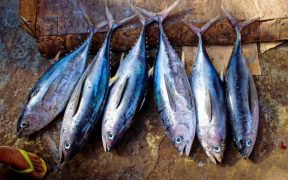 Adjudicator Confirms Recommendation to Certify Tuna Fishery