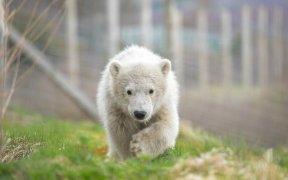 SALMON TREAT FOR BIRTHDAY POLAR BEAR