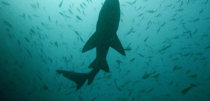 Europeche rejects EU Shark Trade Restrictions