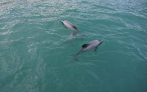 THREE MORE RARE DOLPHINS ACCIDENTLY CAUGHT