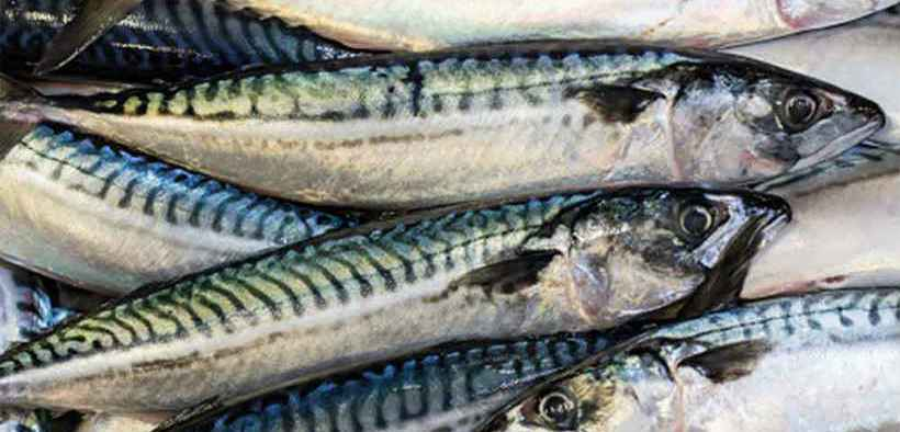 HEALTHY STATE OF MACKEREL