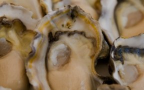 NEW FARMED OYSTER RESEARCH
