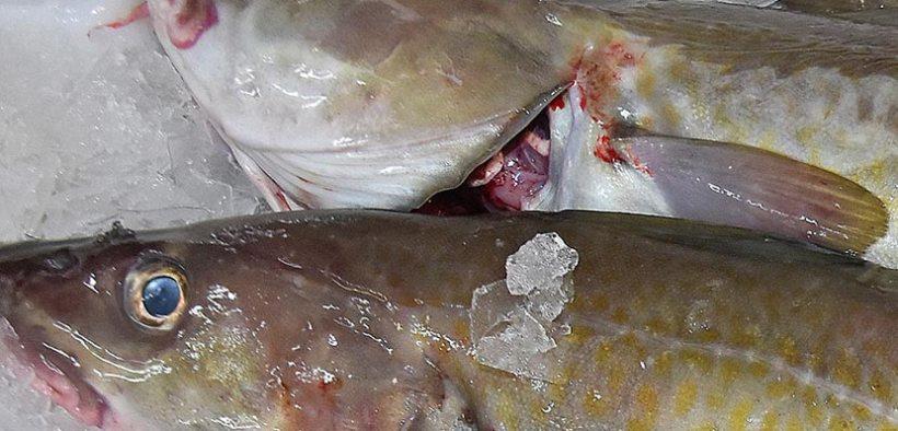 Norwegian fresh cod exports
