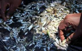 MOSQUITO NETS DEVASTATING FISH