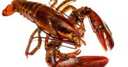 Coronavirus impact sparks NZ rock lobster industry call for quota carry-over