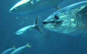 dutch-company-joins-global-tuna-alliance