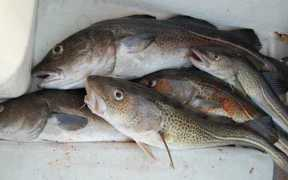 COD AND MONKFISH COULD DISAPPEAR