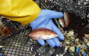 WRASSE FISHERY OBSERVER SURVEYS