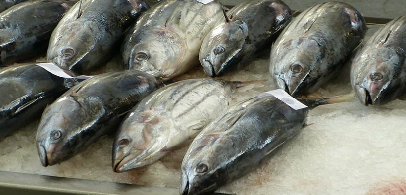 Catching more tuna does not boost economic value