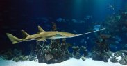 Declining sawfish prioritised for conservation status