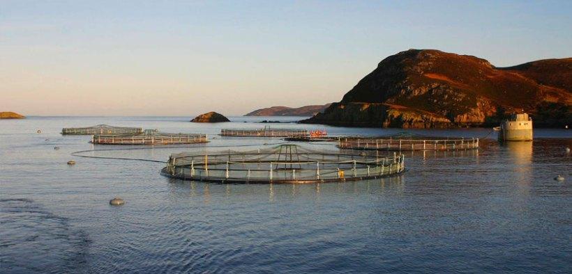 Mowi Scotland launches escaped salmon genetics study