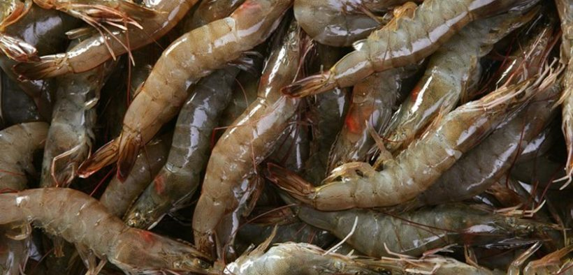 Thai Union to use algae ingredient in its shrimp feed