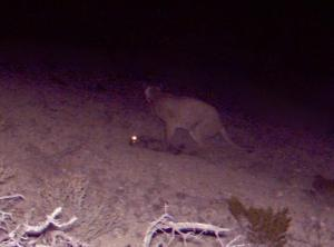 Cougar kills javelina! (photo)