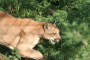 Do white cougars exist?