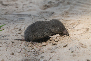 Ever seen a shrew? (Photo)