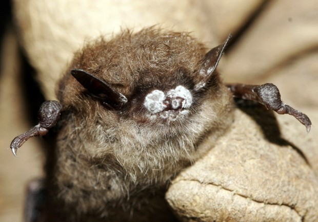 Why You Should Care That Millions of Bats Are Infected With a Deadly Fungal Disease