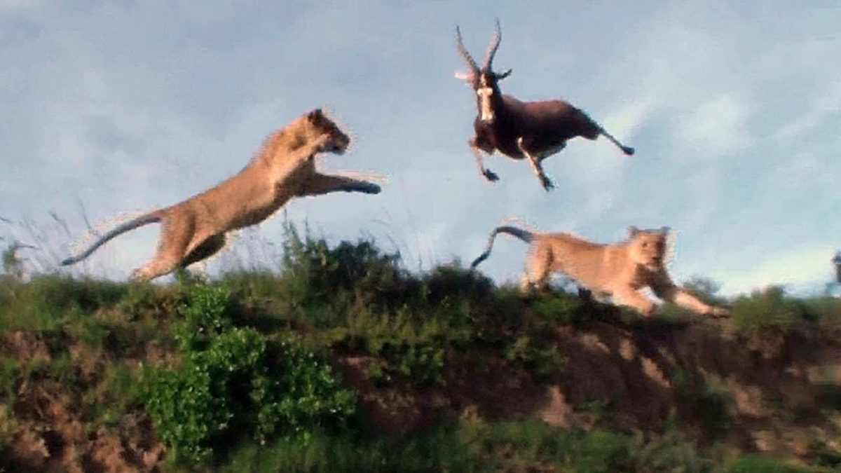 Lion Catches Fleeing Antelope in Mid-Air Ambush [VIDEO]