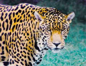 MONSTER jaguar (photo)