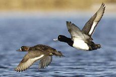 Breeding duck numbers hit record high