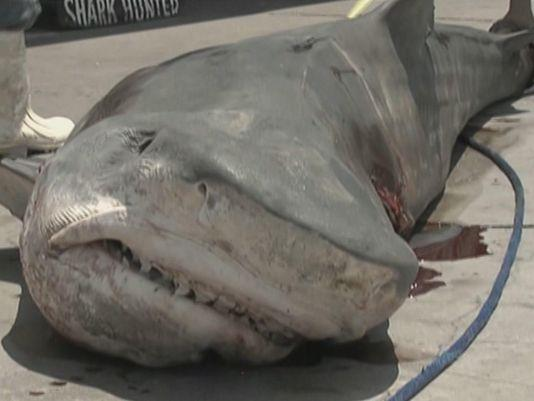 1407196580000-Tiger-Shark-Port-Aransas